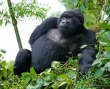 Gorilla Tracking in the Mist of Rwanda